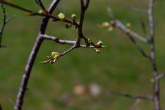 Κλάδος ενός δέντρου μηλιάς που αυξάνεται τα νέα φύλλα στοκ εικόνες