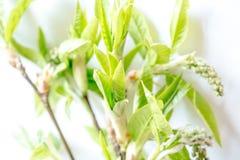 Κλάδος ενός νέου πράσινου δέντρου με τους οφθαλμούς φωτεινή άνοιξη ανασκόπησης Εκλεκτική εστίαση Στοκ Εικόνα