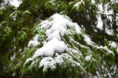Κλάδος ενός χριστουγεννιάτικου δέντρου και του πρώτου χιονιού Στοκ Φωτογραφίες