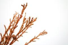Κλάδος και καφετιά φύλλα Στοκ εικόνα με δικαίωμα ελεύθερης χρήσης