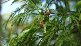 Κλάδος και κώνοι του δέντρου Cryptomeria Japonica Sugi αναμμένου από τον ήλιο άνοιξη απόθεμα βίντεο