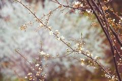 Κλάδος κερασιών με τα άσπρα λουλούδια σε ένα σκοτεινό υπόβαθρο, πρόωρο spr Στοκ Φωτογραφίες