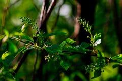 Κλάδος κερασιών πουλιών με τα νέα φύλλα στοκ εικόνες με δικαίωμα ελεύθερης χρήσης