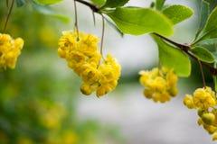 Κλάδος κινηματογραφήσεων σε πρώτο πλάνο με τα πράσινα φύλλα και τα κρεμώντας κίτρινα λουλούδια και Στοκ φωτογραφίες με δικαίωμα ελεύθερης χρήσης