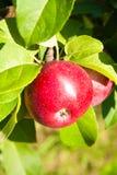 κλάδος μήλων Στοκ εικόνες με δικαίωμα ελεύθερης χρήσης