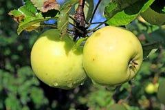 κλάδος μήλων Στοκ φωτογραφία με δικαίωμα ελεύθερης χρήσης