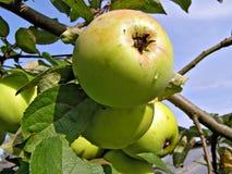 κλάδος μήλων Στοκ φωτογραφίες με δικαίωμα ελεύθερης χρήσης
