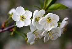 Κλάδος με τα άνθη Στοκ Φωτογραφίες