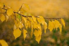 Κλάδος με τα κίτρινα φύλλα ενάντια στο φως του ήλιου Φύλλα φθινοπώρου Στοκ Φωτογραφία