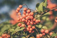 Κλάδος με τα μούρα δέντρων σορβιών Στοκ εικόνες με δικαίωμα ελεύθερης χρήσης