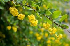 Κλάδος με τα πράσινα φύλλα και τα κρεμώντας κίτρινους λουλούδια και τους οφθαλμούς επάνω Στοκ Εικόνα
