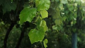 Κλάδος με τα φρέσκα φύλλα σταφυλιών που υποφέρουν στο slomo δυνατής βροχής απόθεμα βίντεο