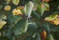 Κλάδος με τα φρούτα και το πράσινο sylvatica Fagus φυλλώματος στοκ φωτογραφίες με δικαίωμα ελεύθερης χρήσης