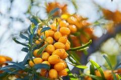 Κλάδος με τα φρούτα λευκαγκαθιών στοκ εικόνες με δικαίωμα ελεύθερης χρήσης