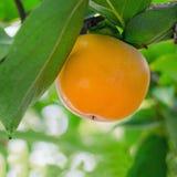 Κλάδος με ώριμο persimmon σε ένα δέντρο Στοκ εικόνα με δικαίωμα ελεύθερης χρήσης