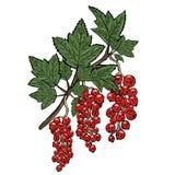 Κλάδος μιας κόκκινης σταφίδας με τα πράσινα φύλλα διανυσματικό λευκό καρ&chi Στοκ φωτογραφία με δικαίωμα ελεύθερης χρήσης