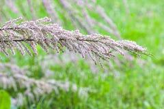 Κλάδος μικρά λουλούδια του tamarisk στο θολωμένο πράσινο backgroun Στοκ Εικόνα