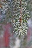 Κλάδος μπλε fir-tree μπλε, πράσινος, άσπρος, μπλε ερυθρελάτες του Κολοράντο, Picea pungens που καλύπτεται με Bekraund του νέου έτ Στοκ Εικόνες