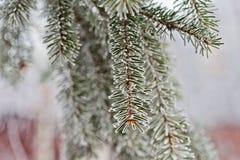 Κλάδος μπλε fir-tree μπλε, πράσινος, άσπρος, μπλε ερυθρελάτες του Κολοράντο, Picea pungens που καλύπτεται με Bekraund του νέου έτ Στοκ Φωτογραφίες