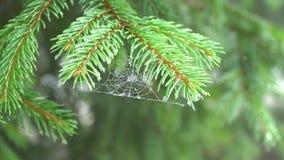 Κλάδος πεύκων με τους ιστούς αράχνης απόθεμα βίντεο