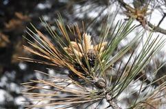 Κλάδος πεύκων με τους κώνους στο ηλιόλουστο χειμερινό δάσος στοκ φωτογραφία