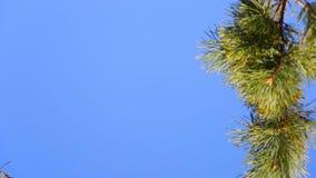 Κλάδος πεύκων στο μπλε ουρανό φιλμ μικρού μήκους
