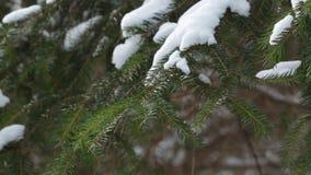 Κλάδος πεύκων στο χιόνι απόθεμα βίντεο
