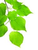 κλάδος πράσινος Στοκ φωτογραφίες με δικαίωμα ελεύθερης χρήσης