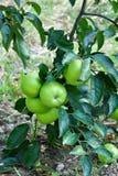 Κλάδος της Apple με τα πράσινα μήλα Στοκ Φωτογραφία