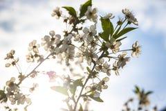 Κλάδος του ανθίζοντας δέντρου κερασιών στοκ φωτογραφίες με δικαίωμα ελεύθερης χρήσης
