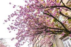 Κλάδος του ανθίζοντας ρόδινου δέντρου sakura στοκ εικόνες