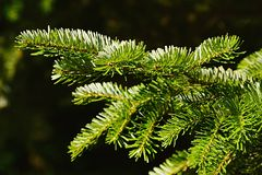 Κλάδος του ασημένιου έλατου Veitchii έλατου Veitch ` s κωνοφόρων δέντρων κατά τη διάρκεια της εποχής φθινοπώρου στο σκοτεινό υπόβ Στοκ Φωτογραφίες