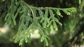 Κλάδος του ασιατικού κομψού picea δέντρων ήπιου αέρα orientalis την άνοιξη, 4K απόθεμα βίντεο
