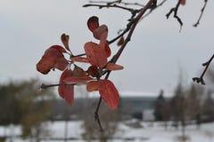 Κλάδος του δέντρου με τα κόκκινα φύλλα στο χιονώδες τοπίο στοκ φωτογραφία με δικαίωμα ελεύθερης χρήσης