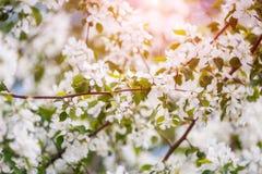 Κλάδος του δέντρου μηλιάς άνοιξη με τα άσπρα λουλούδια, ανθίζοντας υπόβαθρο Στοκ εικόνα με δικαίωμα ελεύθερης χρήσης