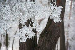 Κλάδος του δέντρου πεύκων στον παγετό Στοκ Εικόνες