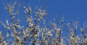 Κλάδος του δέντρου της Apple στα λουλούδια, Νορμανδία, απόθεμα βίντεο