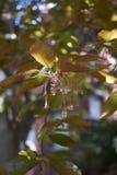 Κλάδος του δέντρου purpurea sylvatica Fagus στοκ φωτογραφίες με δικαίωμα ελεύθερης χρήσης