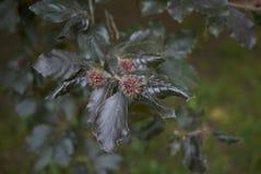 Κλάδος του δέντρου purpurea sylvatica Fagus στοκ φωτογραφία με δικαίωμα ελεύθερης χρήσης
