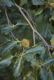 Κλάδος του δέντρου sylvatica Fagus στοκ φωτογραφία με δικαίωμα ελεύθερης χρήσης