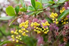 Κλάδος του θάμνου με τα πράσινα φύλλα και τα κρεμώντας κίτρινα λουλούδια και Στοκ Εικόνες