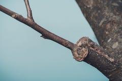 Κλάδος του μπολιασμένου δέντρου την πρώιμη άνοιξη, στην οποία οι οφθαλμοί αρχίζουν ήδη να ανθίζουν στοκ εικόνα