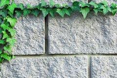 Κλάδος του πράσινου κισσού που υφαίνεται πέρα από έναν γκρίζο τουβλότοιχο Στοκ Εικόνα