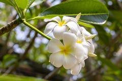 Κλάδος του τροπικού frangipani λουλουδιών, plumeria, Ταϊλάνδη Στοκ φωτογραφία με δικαίωμα ελεύθερης χρήσης