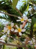 Κλάδος του τροπικού plumeria λουλουδιών Στοκ φωτογραφία με δικαίωμα ελεύθερης χρήσης