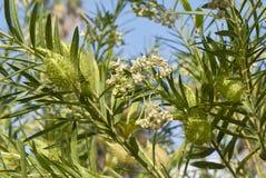 Κλάδος του fruticosus Gomphocarpus Στοκ Εικόνα