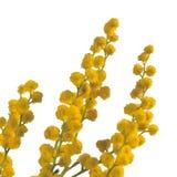 Κλάδος του mimosa που απομονώνεται στοκ εικόνες