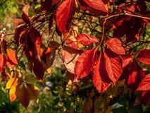 Κλάδος των άγριων σταφυλιών με τα κόκκινα φύλλα φθινοπώρου στοκ εικόνες