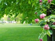 Κλάδος των ανθών της Apple σε ένα υπόβαθρο ενός υποβάθρου πάρκων Στοκ Εικόνες