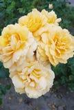 Κλάδος των μεγάλων τριαντάφυλλων κρέμας στον πράσινο κήπο στοκ φωτογραφία
